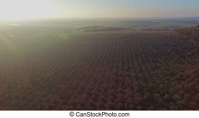 Beautiful aerial view of apple orchard