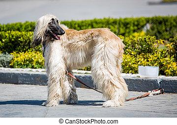 Beautiful Afghan hound dog on the street