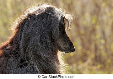beautiful Afghan hound dog summer portrait in profile