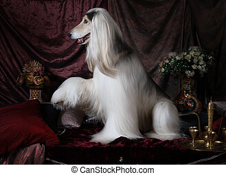 Beautiful Afghan hound dog with raised paw in the Arab style...