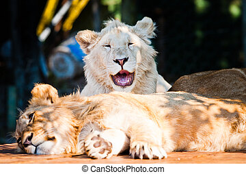 Beautiful african lion smiling at the camera