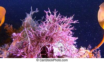 Beautiful algae underwter in White Sea. Creative diving and...