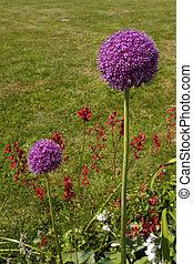 beautiful allium flowers
