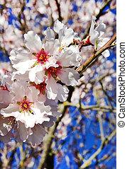 beautiful almond flowers on branch