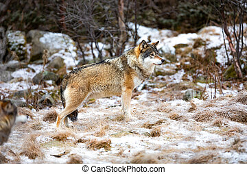 Beautiful alpha male wolf in pack standing in the forest