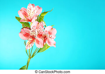Beautiful alstroemeria flowers on a blue background