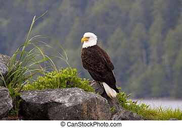 Beautiful American Bald Eagle perched on a rock by the ocean harbor.
