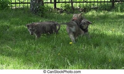 Beautiful amusing puppies of Saarloos wolfhound playing on green lawn in the park stock footage video