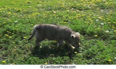Beautiful amusing puppies of Saarloos wolfhound playing on...
