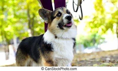 Beautiful and adorable Welsh Corgi dog in park. - Beautiful ...