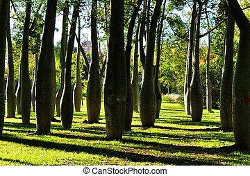 Ceiba speciosa forest in Valencia, Spain - Beautiful and ...