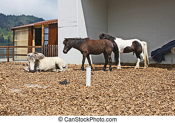 Beautiful and funny white horses on farm taken in Switzerland Alps