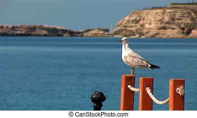 beautiful and honour seagul - seagull sitting on a rope...