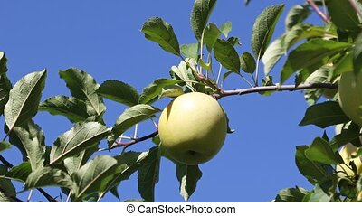 Yellow ripe Golden apple on a branch in a farmer's orchard in autumn on a sunny day