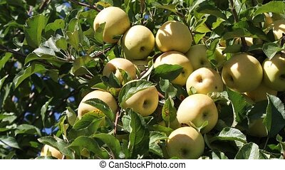 Yellow ripe Golden apples on a branch in a farmer's orchard in autumn on a sunny day