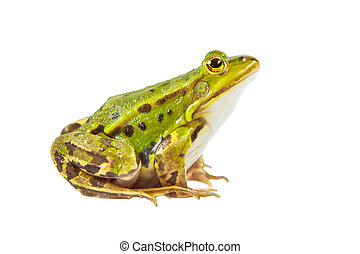 Pool frog male - Beautiful and strong Pool frog male...
