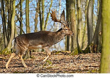 Beautiful animal in a wild forest in nature. Fallow deer (Dama dama)