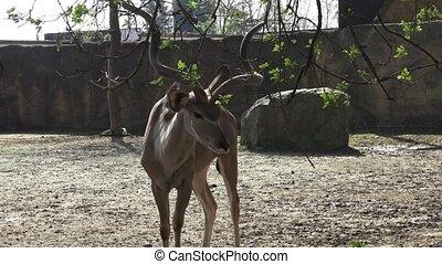 Beautiful antilope with big horns