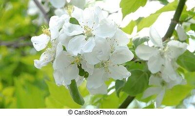 Beautiful apple tree branch. Close-up