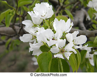 apple tree flowers in the spring garden.