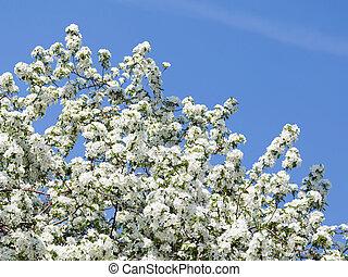 beautiful apple tree in spring