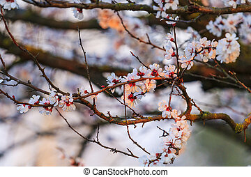 beautiful apricot flowers in the first rays of the spring sun
