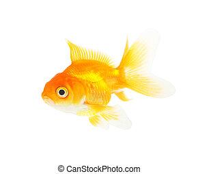 beautiful aquarium fish isolated on white background