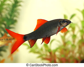 beautiful aquarium fish Red Tail Shark (Labeo bicolor)