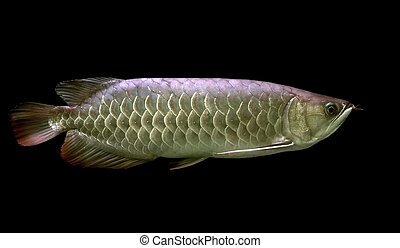 arowana - beautiful arowana on black background