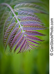 Beautiful ash tree leaves in springtime (Fraxinus excelsior)