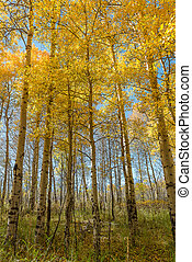 Beautiful Aspen tree during autumn