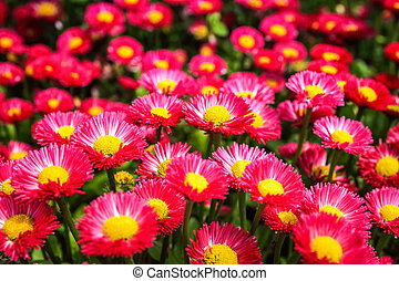 aster flowers background in spring
