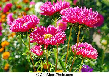 beautiful aster flowers in autumn garden