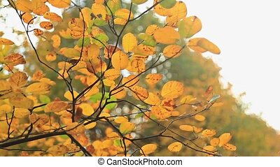 Beautiful autum yellow leaves, HD