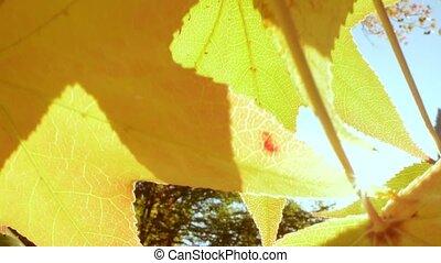 Beautiful autumn background. extreme close-up. yellow maple leaves. sun glare.