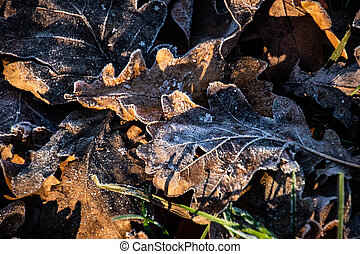 autumn background on a frosty winter day, with frost on oak leaves lit by the sun