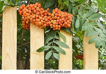 Beautiful autumn background with mountain ash, mountain ash branches hanging over a new wooden fence, outdoor