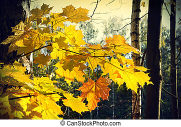 Beautiful autumn branch of maple tree