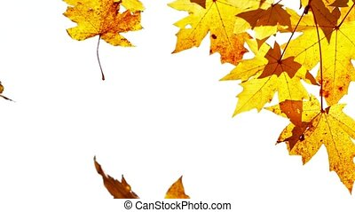 Beautiful Autumn Colorful Maple Leaves Fall from Tree. Super Slow Motion, 1000 FPS.
