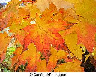 beautiful autumn foliage of maple tree