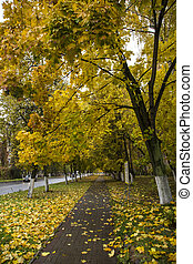 beautiful autumn in yellow leaves