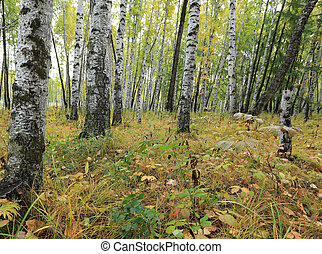 beautiful autumn landscape with white birch forest