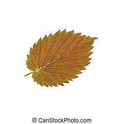 Beautiful autumn leaf isolated on white