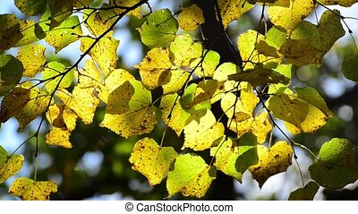 Beautiful autumn leaves backlit - A Beautiful yellow autumn...