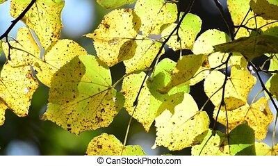 Beautiful autumn leaves backlit - A Beautiful yellow autumn...