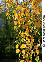 Beautiful autumn leaves of birch tree