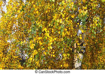 autumn leaves of birch tree