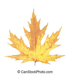 Beautiful autumn maple leaf