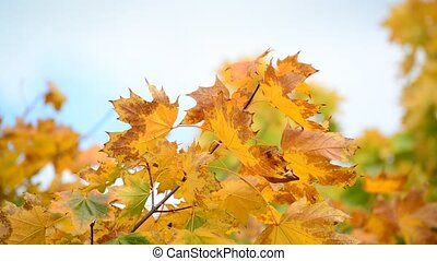 Beautiful autumn maple leaves on  sunny day