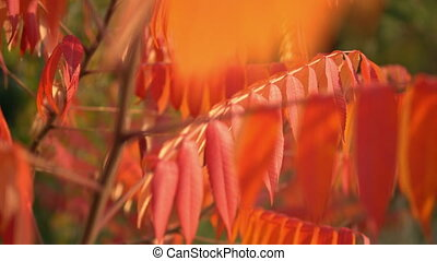 beautiful autumn nature - red leaves on the tree swaying in...